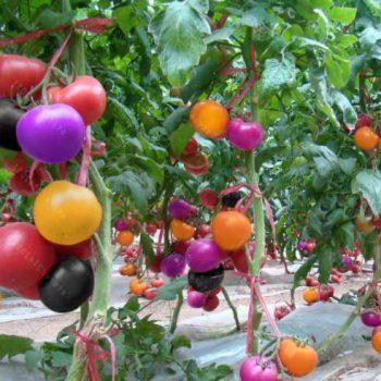 разноцветные помидоры семена