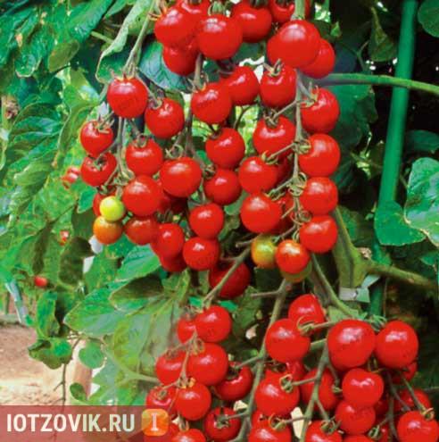 семена высокоурожайных сортов томатов