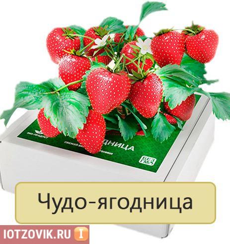 чудо ягодница отзывы